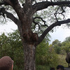 The marula tree - from which the marula fruits makes the yummy Amarula liquer.