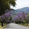 Robertson, Jacaranda trees