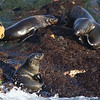 Seal island pups