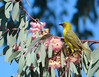 Cape Weaver bird in a blooming Blue gum tree.<br /> at De Lande Guest Farm  near Nieuwoudtville<br /> August 30, 2012