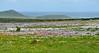 Carpet of wildflowers overlooking the Atlantic Ocean in the <br /> West Coast National Park west of Langebaan, South Africa<br /> August 28, 2012