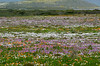 Early view of the carpet of wildflowers in the <br /> West Coast National Park west of Langebaan, South Africa<br /> August 28, 2012
