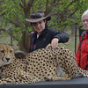 """Pepe Jones and Amy Ogburn stroke """"Bullet"""", a 3 year old ambassador Cheetah<br /> at Moholoholo Wildlife Rehabilitation Centre, a haven for abandoned and injured wildlife,<br /> September 14, 2012"""