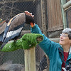 Beth strokes a female Bateleur Eagle  <br /> at Moholoholo Wildlife Rehabilitation Centre, a haven for abandoned and injured wildlife.<br /> Also perched is a male Bateleur in middle and a Tawny Eagle on the end.<br /> September 14, 2012