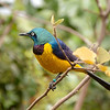 Golden breasted Starling in a private aviary<br /> at Moholoholo Wildlife Rehabilitation Centre<br /> September 14, 2012
