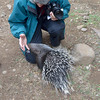 Baby porcupine, about 4 months old, investigates Beth's hand<br /> at Moholoholo Wildlife Rehabilitation Centre<br /> September 14, 2012