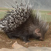 Baby porcupine about 4 months old<br /> at Moholoholo Wildlife Rehabilitation Centre<br /> September 14, 2012
