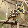 One of several species of African barbets in a special aviary<br /> at Moholoholo Wildlife Rehabilitation Centre<br /> September 14, 2012