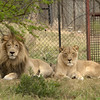 """""""Big-boy"""" male lion and """"Ditch"""" female lion, live permanently<br /> at Moholoholo Wildlife Rehabilitation Centre, a haven for abandoned and injured wildlife,<br /> September 14, 2012"""