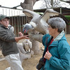 With Cody's instructions and assistance, Beth feeds chicken to a white-backed vulture,<br /> illustrating the weight of this large vulture.