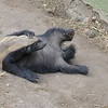 Female African Honey Badger entertains the visitors<br /> at Moholoholo Wildlife Rehabilitation Centre, a haven for abandoned and injured wildlife,<br /> September 14, 2012
