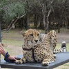 """""""Bullet"""", a 3 year old ambassador Cheetah,<br /> At Moholoholo Wildlife Rehabilitation Centre, a haven for abandoned and injured wildlife,<br /> September 14, 2012"""