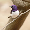 Violet-backed Starling in a private aviary<br /> at Moholoholo Wildlife Rehabilitation Centre<br /> September 14, 2012