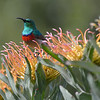 Southern Double-collared Sunbird <br /> perched on Protea blossoms,<br /> Kirstenbosch Botanical Gardens in Cape Town.<br /> August 27, 2012