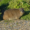 """Dassie"" or Rock Hyrax - <br /> Although they are the size of a rabbit, they are a relative of the elephant!<br /> August 27, 2012"