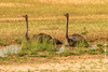 South African Ostrich Cooling Down in Waterhole