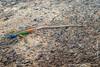 Augrabies Flat Lizard aka Broadley's Flat Lizard