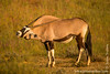 Gemsbok aka Oryx Using Its Horns to Scratch Its Back