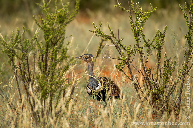 Female Northern Black Korhaan aka Northern Black Bustard