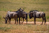 Blue Wildebeest aka Common Wildebeest aka White-bearded Wildebeest