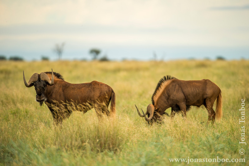 Black Wildebeest aka White-tailed Gnu