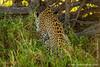 Female Leopard Having Caught a Snake