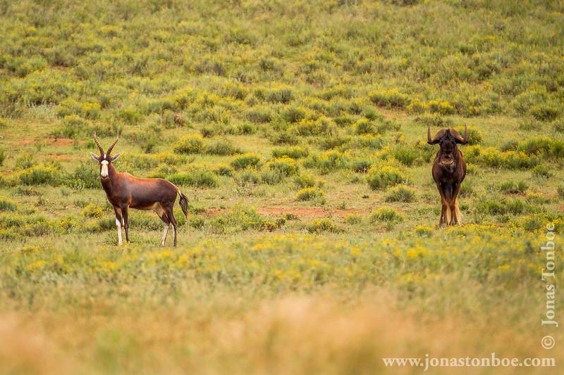 Blesbok aka Blesbuck and Black Wildebeest aka White-tailed Gnu