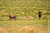 Blesbok aka Blesbuck and Black Wildebeest aka White-tailed Gnu