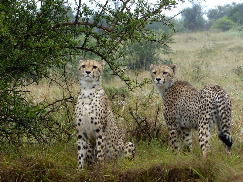 Cheetahs in the Rainy Mist