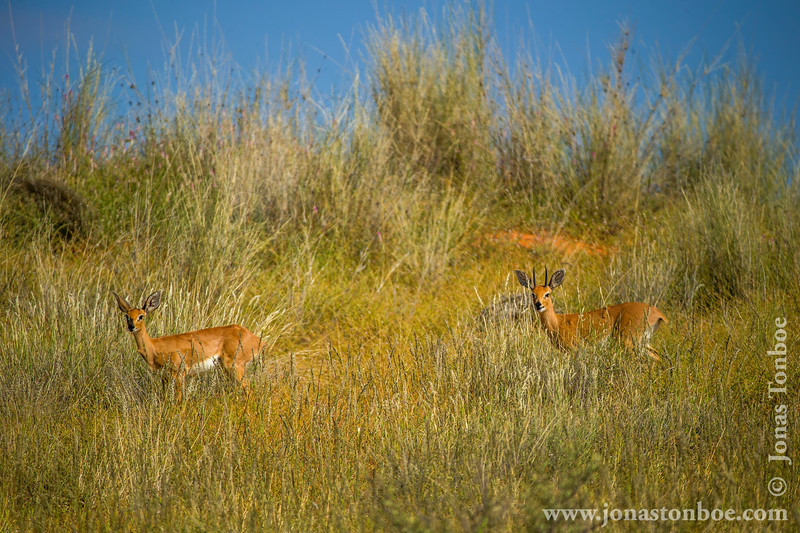 Male and Female Steenbok