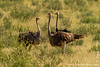 Male and Female South African Ostrich