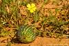 Desert Melon