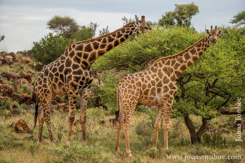 South African Giraffe aka Cape Giraffe