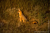 Cape Fox aka Cama Fox aka Silver-backed Fox