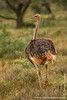 Female South African Ostrich