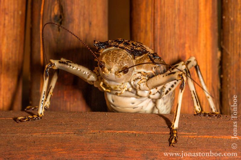 Grasshopper (about 8 cm long)