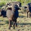 Cape Buffalos