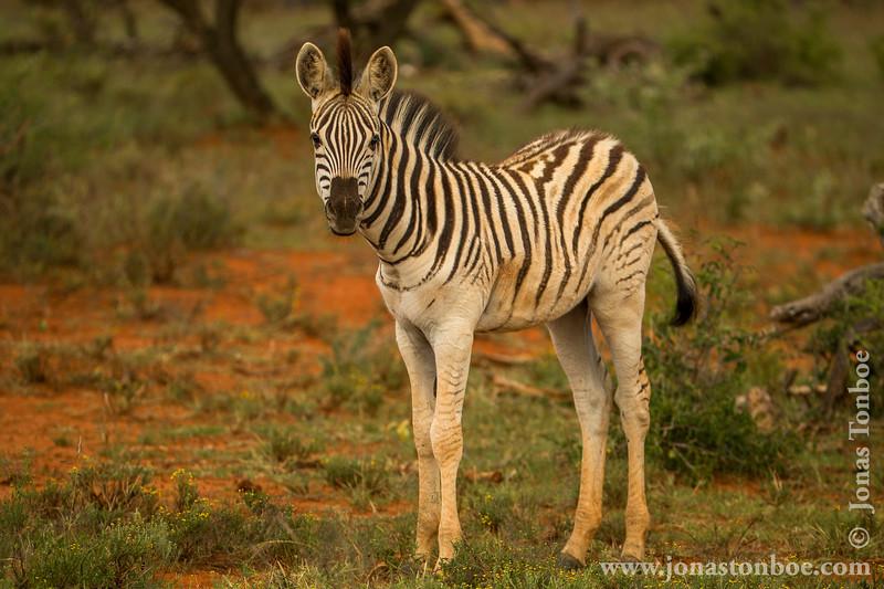 Burchell's Zebra aka Plains Zebra