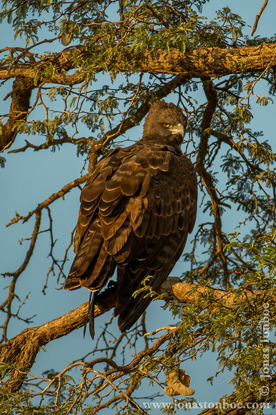 Juvenile Martial Eagle