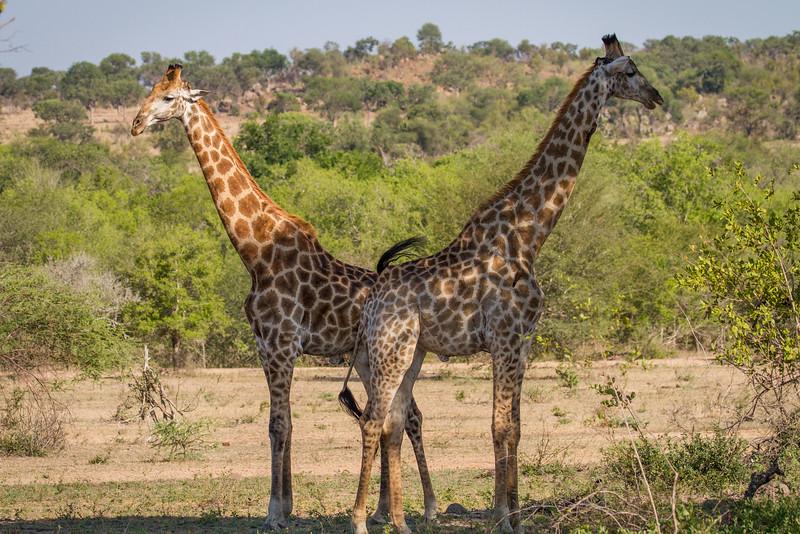 Bachelor giraffes