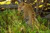 Female African Leopard