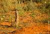 Meerkat aka Suricate
