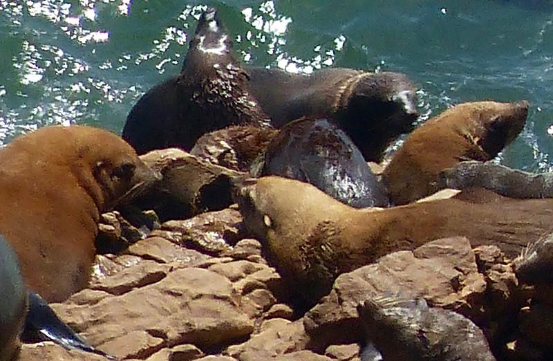 Seals, Robberg Nature Reserve