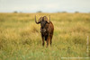Black Wildebeest aka White-tailed Gnu