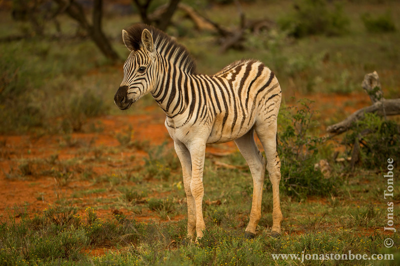 Burchell's Zebra aka Plains Zebra