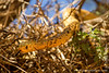 Cape Cobra aka Yellow Cobra Raiding a Sociable Weaver Nest