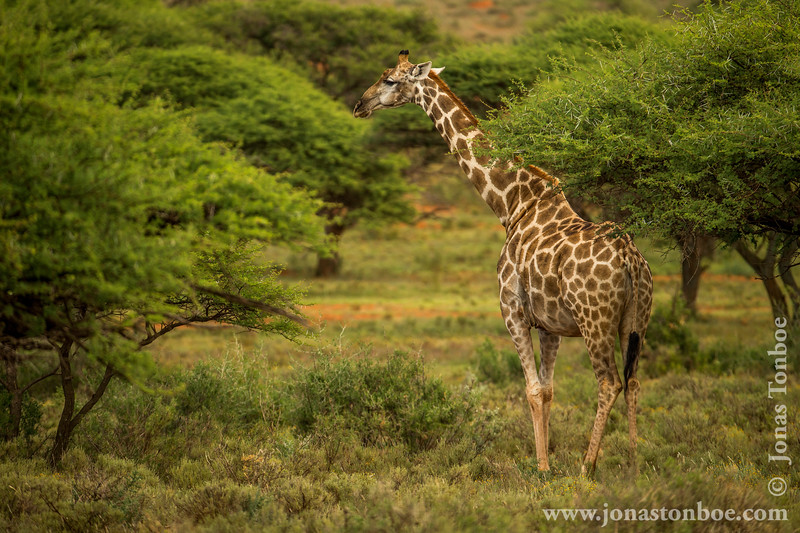 South African Giraffe aka Cape Giraffe