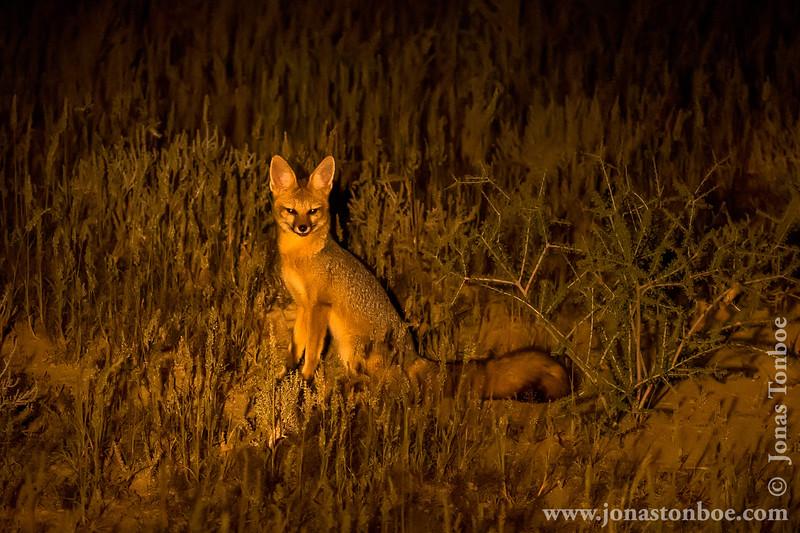 Cape Fox aka Cama Fox aka Silver-backed Fox