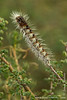 Moth Caterpillar