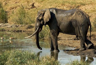 Elephant, Krugerpark.